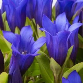 Goryczka Ashiro 'Shine Blue' Gentiana