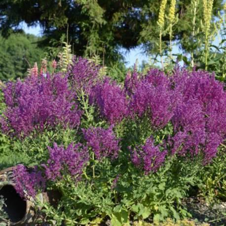 Szałwia omszona 'Schwellenburg' Salvia nemorosa