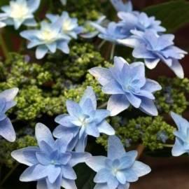 Hortensja ogrodowa Hovaria 'Elleair Anniversary' Hydrangea macrophylla
