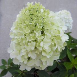 Hortensja bukietowa 'Little Spooky' Hydrangea paniculata