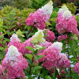 Hortensja bukietowa 'Fraise Melba' Hydrangea paniculata