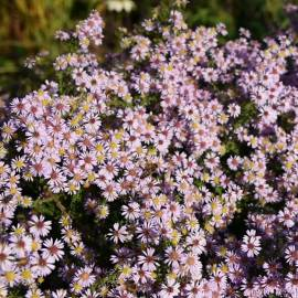 Aster wrzosolistny 'Lovely' Aster ericoides