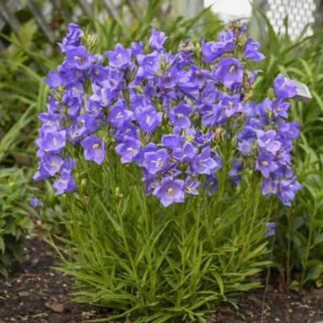 Dzwonek brzoskwiniolistny 'Takion Blue' Campanula persicifolia