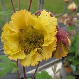 Kuklik 'Yellow Fluffy' Geum
