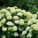 Hortensja drzewiasta 'Lime Rickey' Hydrangea arborescens