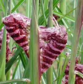 Miskant chiński 'Boucle' Miscanthus sinensis
