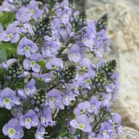 Przetacznik goryczkowy Veronica gentianoides