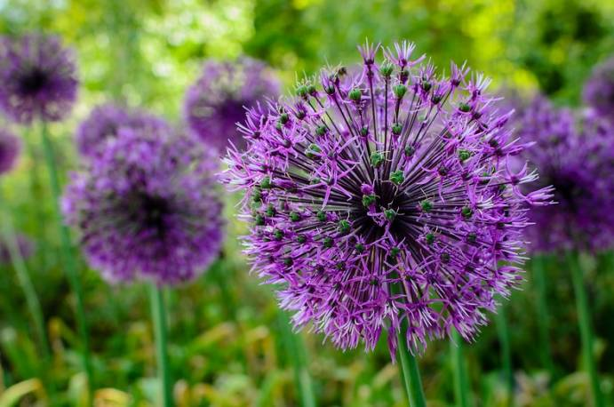 Czosnek 'Early Emperor' Allium