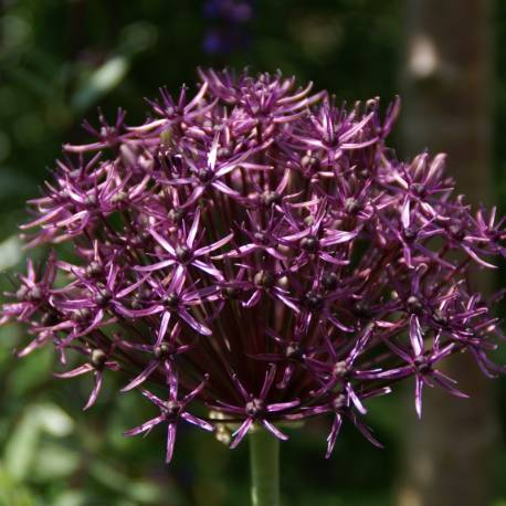 Czosnek 'Firmament' Allium