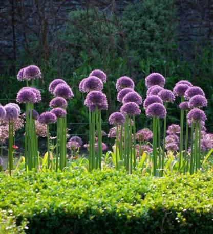 Czosnek 'Jackpot' Allium