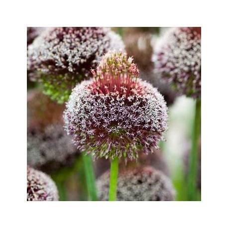 Czosnek 'Forelock' Allium