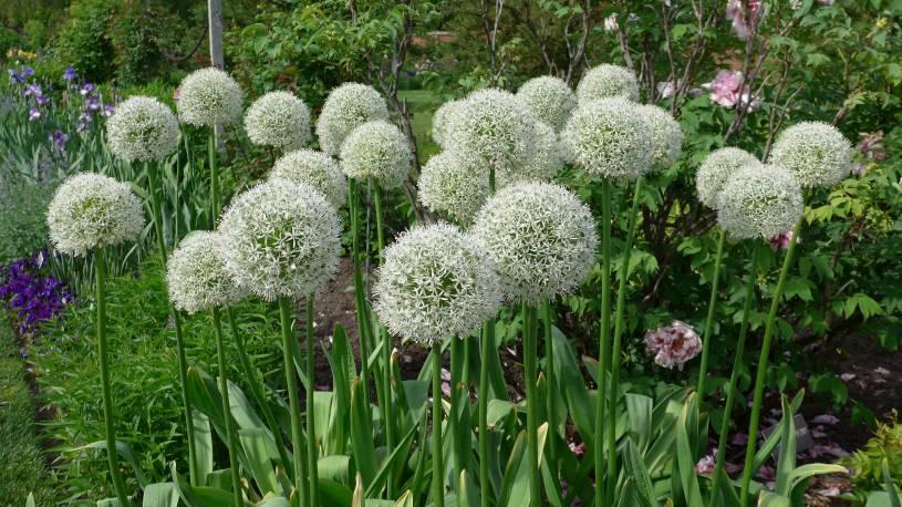 Czosnek 'Mount Everest' Allium