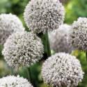 Czosnek 'Ping Pong' Allium