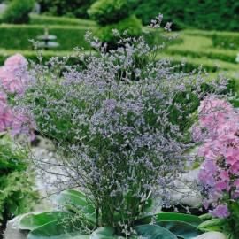 Zatrwian szerokolistny Limonium latifolium