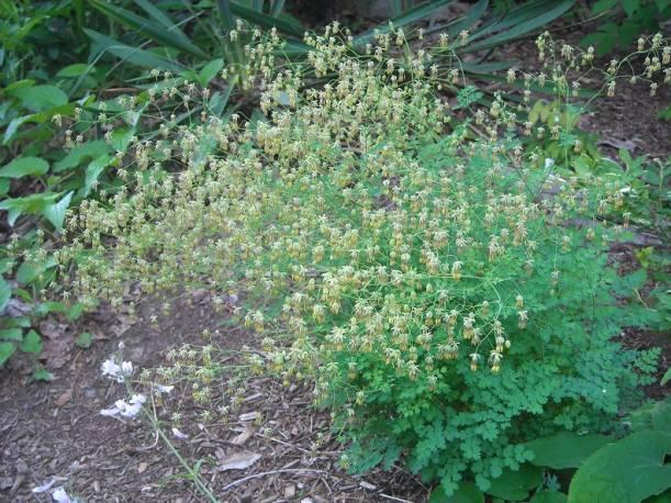 Rutewka mniejsza 'Adiantifolium' Thalictrum minus