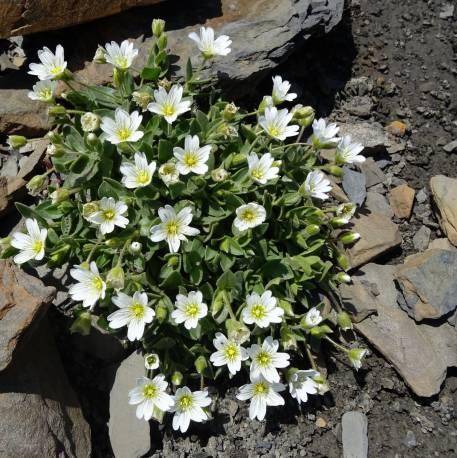 Rogownica alpejska Cerastium alpinum