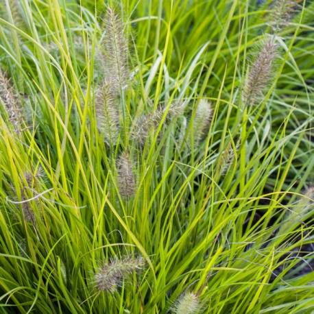 Piórkówka japońska 'Hameln Gold' Pennisetum alopecuroides