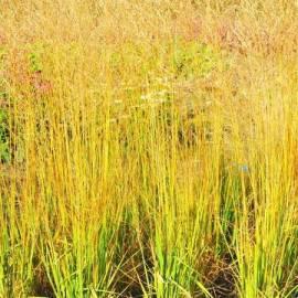 Trzęślica trzcinowata 'JS Yellow Pipe' Molinia arundinacea