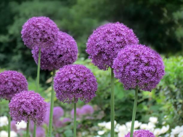 Czosnek 'Ambassador' Allium