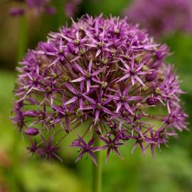 Czosnek turkiestański Allium stipitatum
