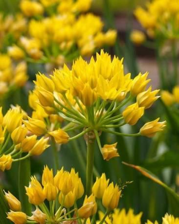 Allium 'Moly Luteum'