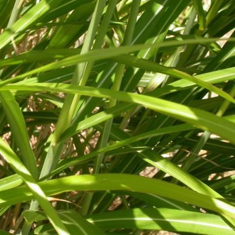 Miskant chiński 'Roland' Miscanthus sinensis