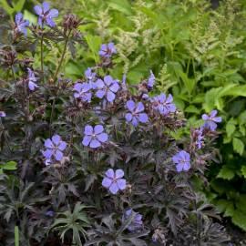 Bodziszek łąkowy 'Dark Reiter' Geranium pratense