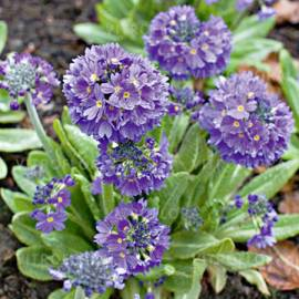 Pierwiosnek ząbkowany 'Blue Selection' Primula denticulata