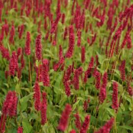 Rdest himalajski 'Dark Red' Persicaria amplexicaulius