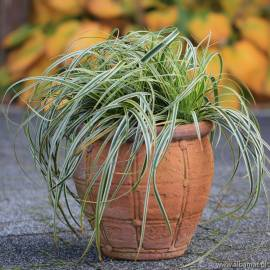 Turzyca 'Feather Falls' Carex
