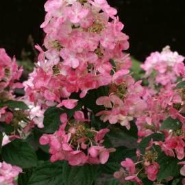Hortensja bukietowa MAGICAL FIRE 'Bokraplume' Hydrangea paniculata