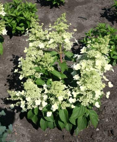 Hortensja bukietowa MAGICAL HIMALAYA 'Kolmahima' Hydrangea paniculata