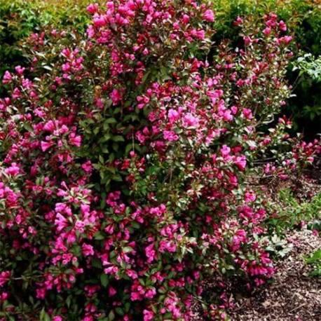 Krzewuszka cudowna 'Ruby Queen' Weigela florida