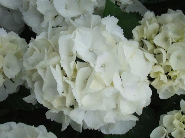 Hortensja ogrodowa 'Schneeball' Hydrangea macrophylla