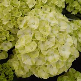 Hortensja ogrodowa 'Caipirinha' Hydrangea macrophylla