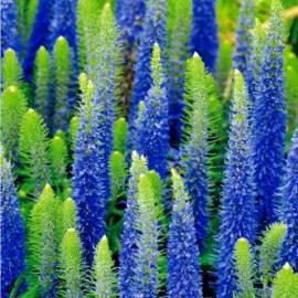 Przetacznik kłosowy 'Ulster Dwarf Blue' Veronica spicata
