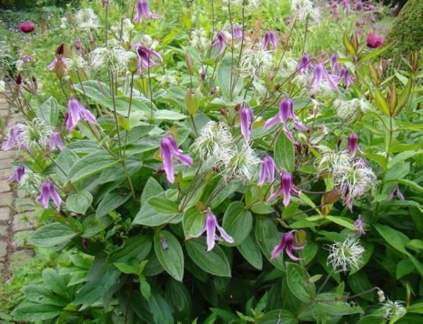 Powojnik całolistny 'Floris V' Clematis integrifolia