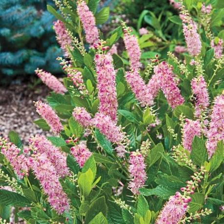Orszelina olcholistna 'Ruby Spice' Clethra alnifolia