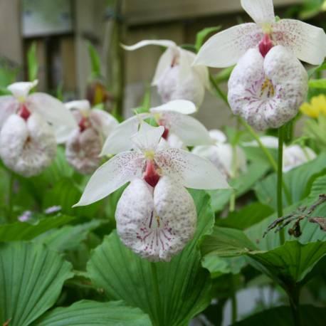 Obuwik Formosa Cypripedium formosanum