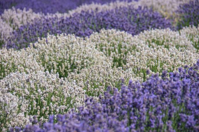 Lawenda wąskolistna 'Edelweiss' Lavandula angustifolia