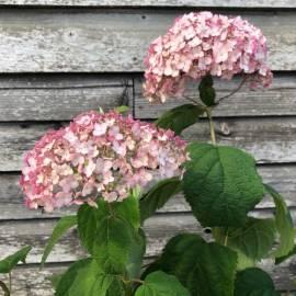 Hortensja drzewiasta Candybelle Bubblegum 'GRHYAR1407' Hydrangea arborescens