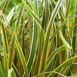 Turzyca Morrowa EverColor 'Everglow' Carex morrowii