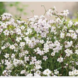 Gipsówka rozesłana 'Filou White' Gypsophila repens