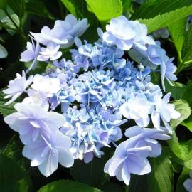 Hortensja ogrodowa You & Me 'Forever' Hydrangea macrophylla