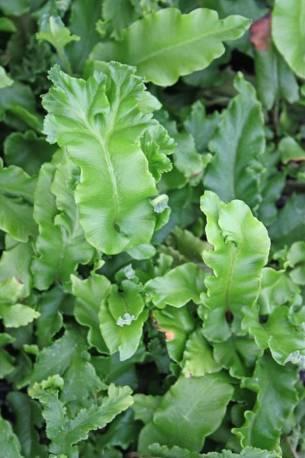 Języcznik zwyczajny 'Cristatum' Asplenium scolopendrium