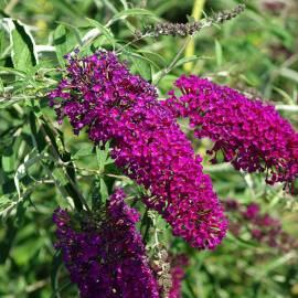 Budleja Dawida 'Nanho Purple' Buddleja davidii