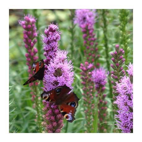 Liatra kłosowa 'Floristan Violet' Liatris spicata