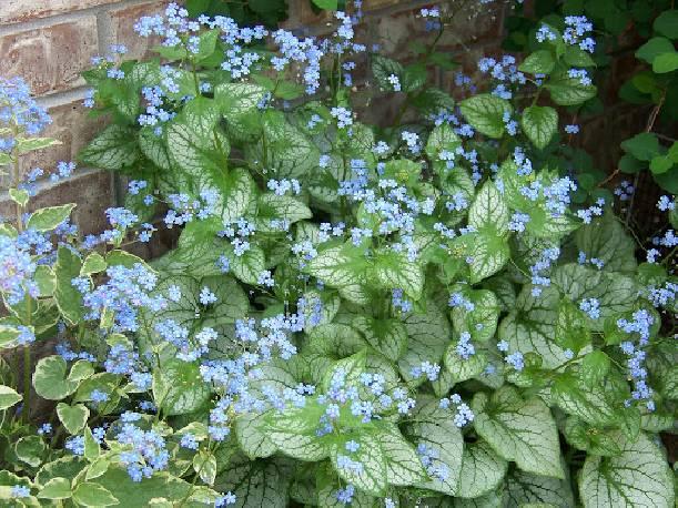 Brunnera wielkolistna 'Jack Frost' Brunnera macrophylla