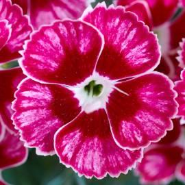 Goździk ogrodowy 'Flutterburst' Dianthus caryophyllus
