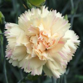 Goździk 'Devon Cream' Dianthus